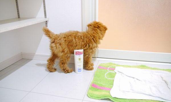 39日目-トイプードルのんちゃんお風呂